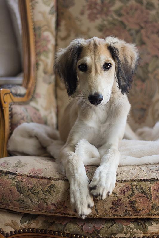 saluki puppy karakter gedrag windhond windhonden