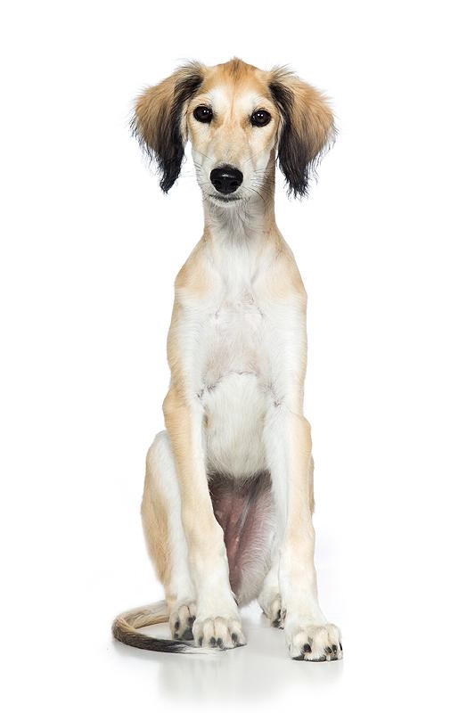 studio hondenfotograaf hondenfotografie honden hond fotograaf fotografie saluki puppy windhond windhonden
