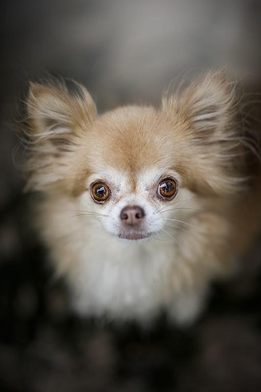 hondenfotografie hondenfotograaf hond honden belle fae pet studio petstudio Sanne Mik chihuahua chi langhaar puppy pup fokker kiezen