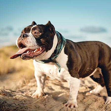 american bully pocket kvv allergie vers vlees pluisje hond hondenvoer allergisch
