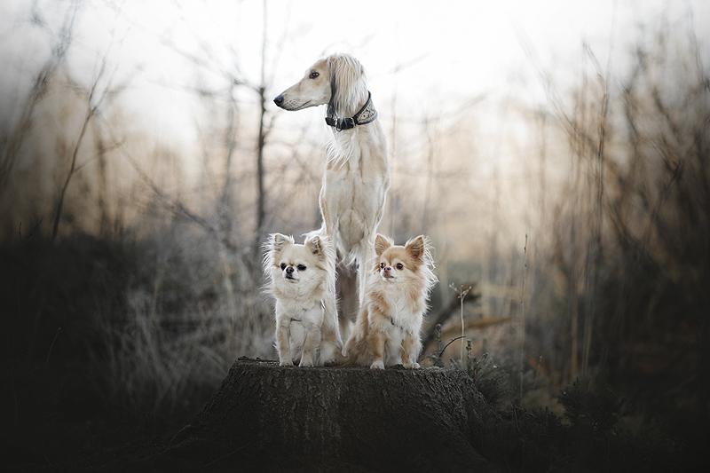 saluki chihuahua windhond groot klein hond honden hondje grote kleine samen voordelen nadelen gevaarlijk