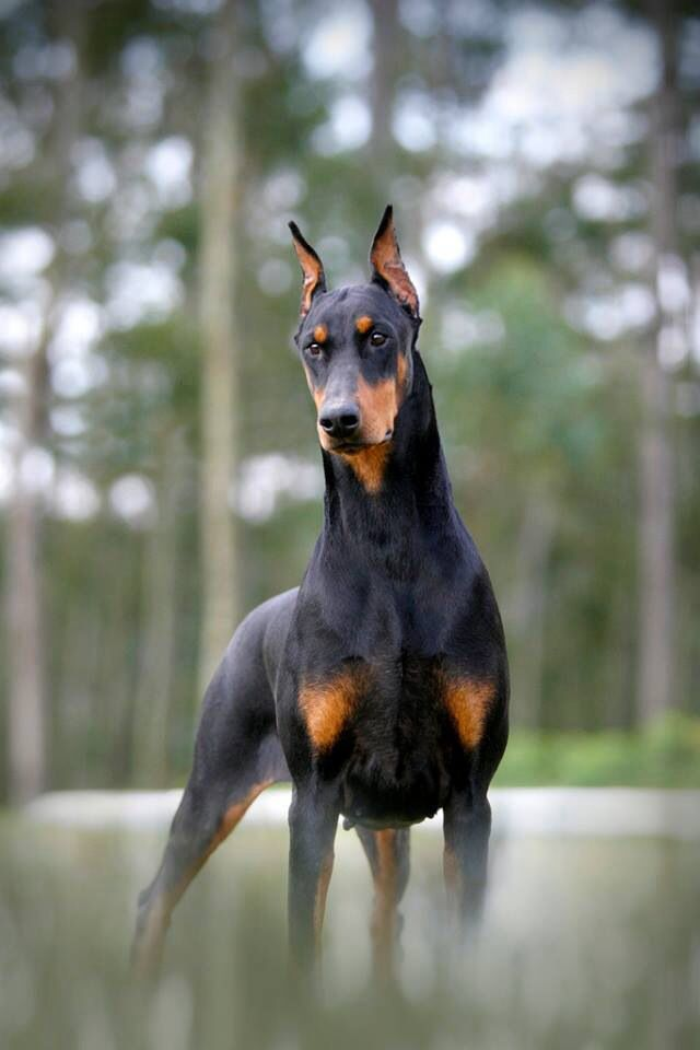 dobermann pincher hondenrassen hondenras favoriet top 5 mooiste hondenblog hondenblogger honden hond blog