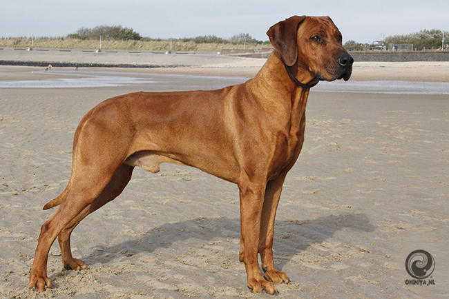 rhodesian ridgeback pronkrug hondenrassen top 5 favoriete mooiste hondenras top 10 hondenblog hondenblogs