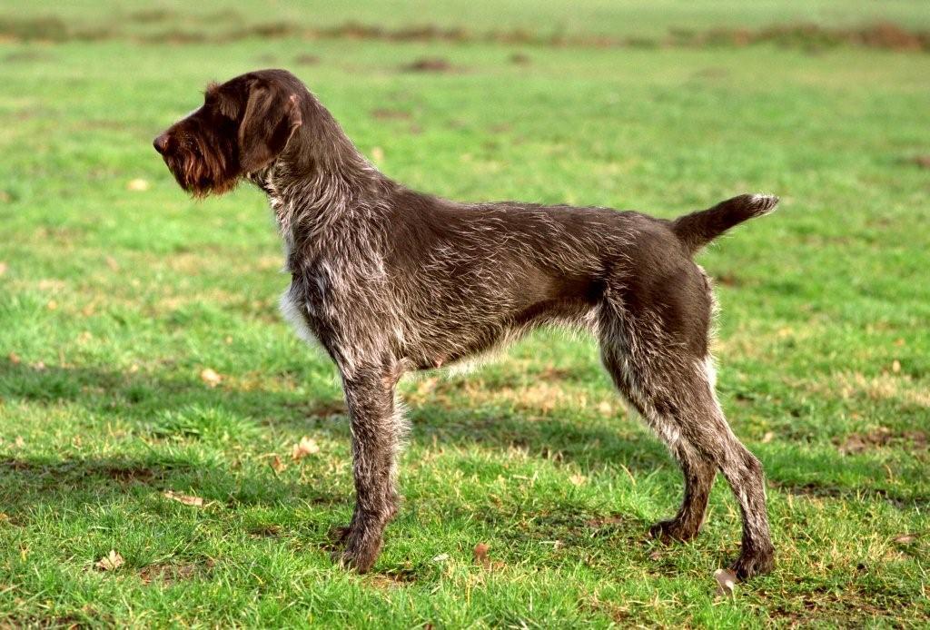 Duitse staande draadhaar hond honden blog blogs hondenblog jachthond top 5 favoriete hondenrassen