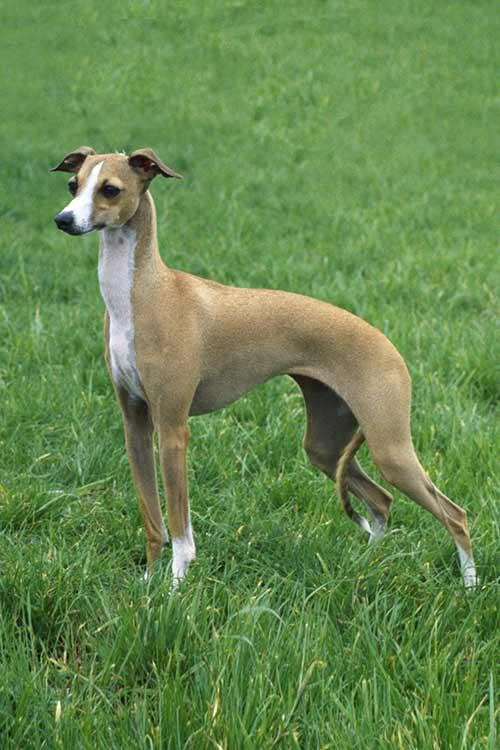 Italiaans windhond windhondje windhonden Iggy Italian greyhound hond honden hondenblog