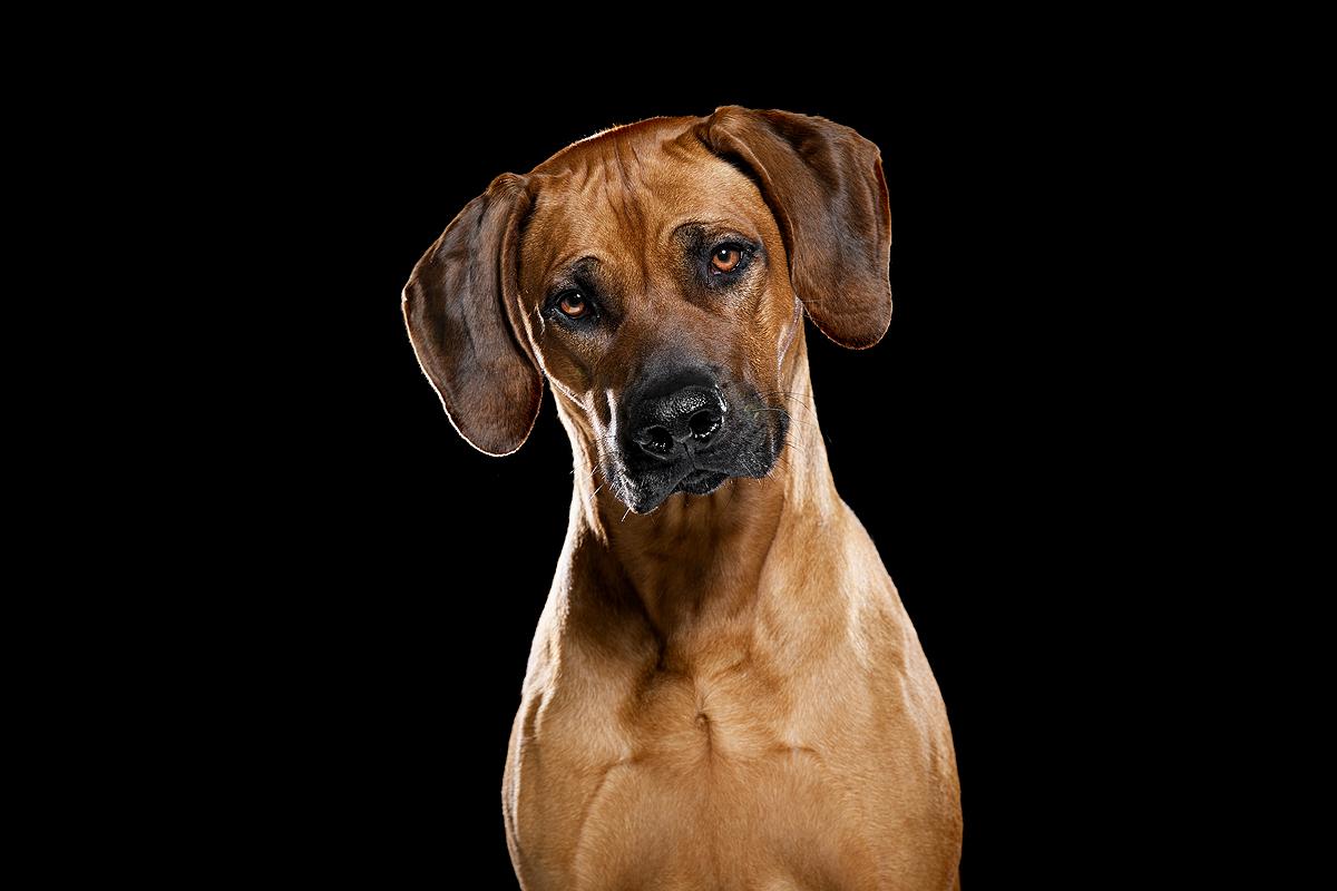 rhodesian ridgeback pronkrug top 5 hondenrassen favoriete