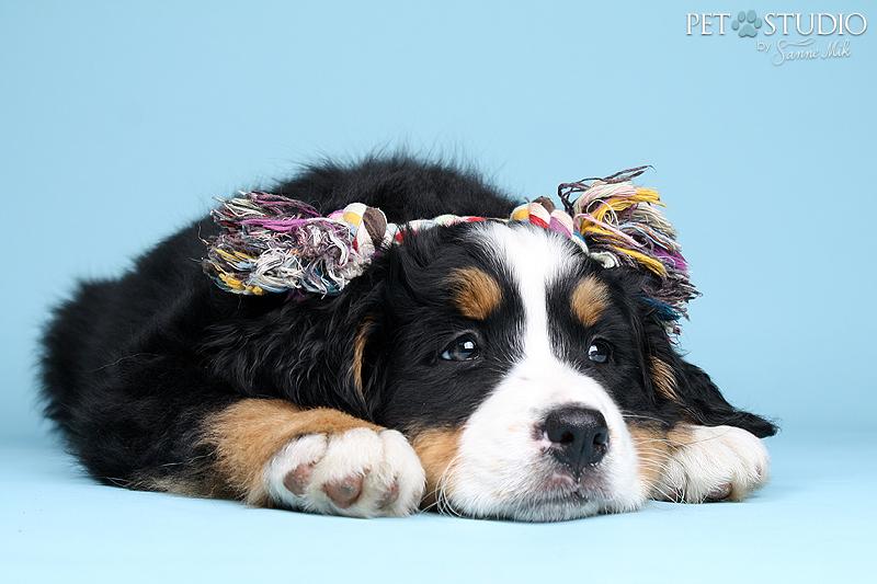 berner sennen puppy pup studio fotografie fotograaf honden fotograaf hondenfotograaf hondenfoto hondenfotografie