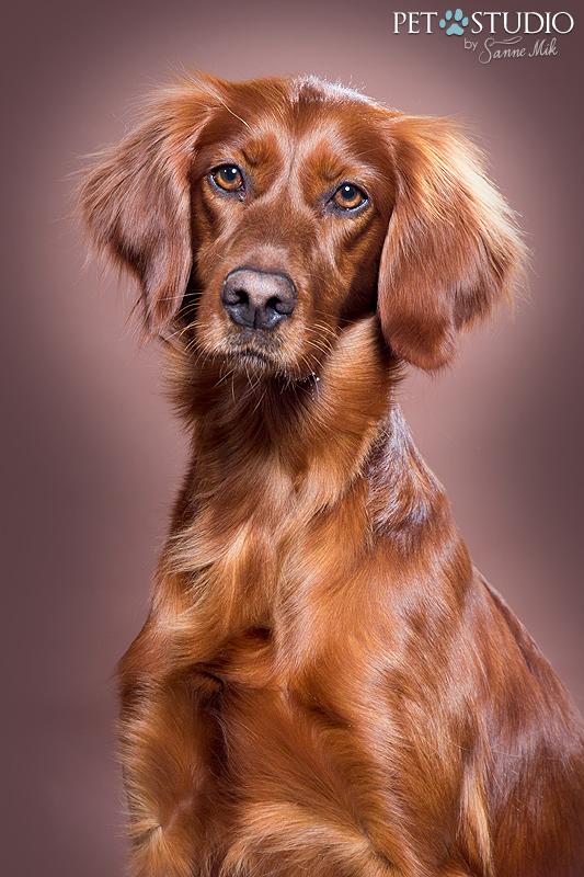 Ierse setter Irish setter werklijn show lijn studio hondenfotografie hondenfotograaf honden fotograaf top 5 hondenrassen