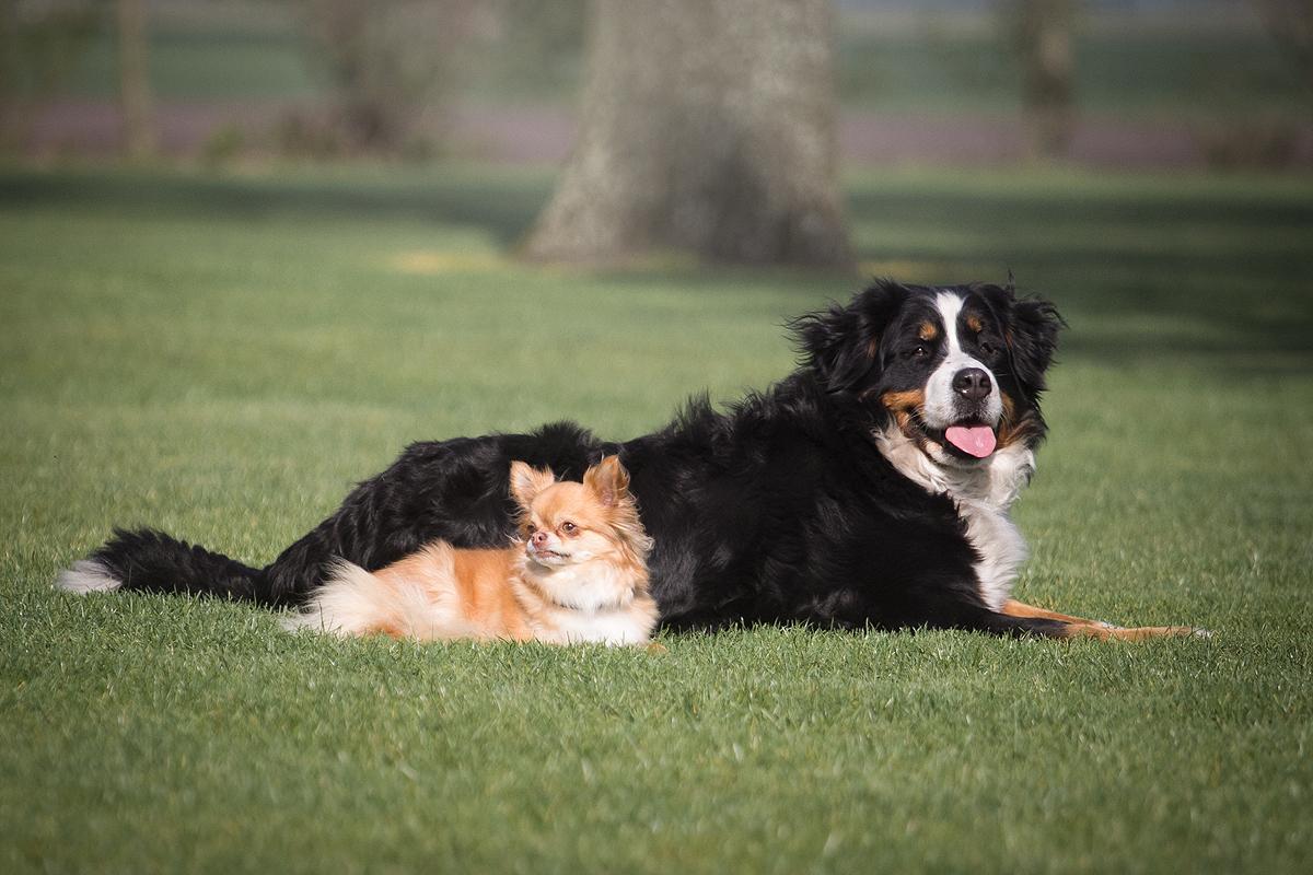 top 5 hondenrassen van mijn man blog hondenblog Berner sennenhond sennen Senne chihuahua man