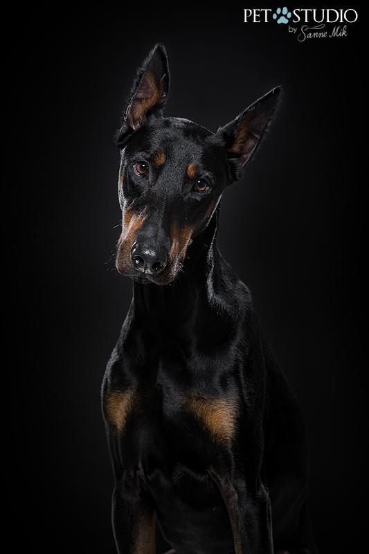 dobermann gecoupeerd pincher studio hondenfotograaf top 5 hondenrassen honden fotograaf