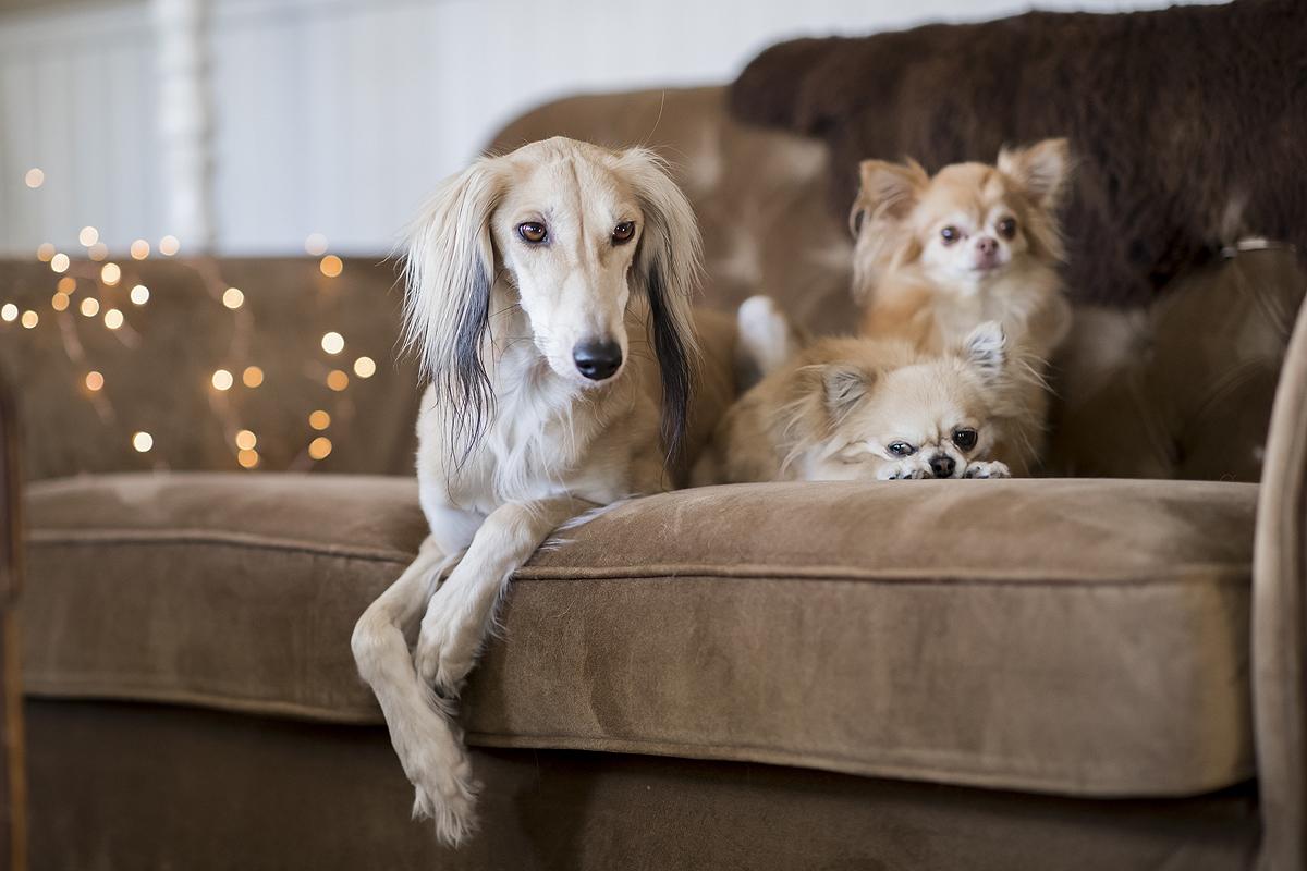 honden niet op de bank chihuahua saluki windhond bank hygiene haarvrij haar bank meubels