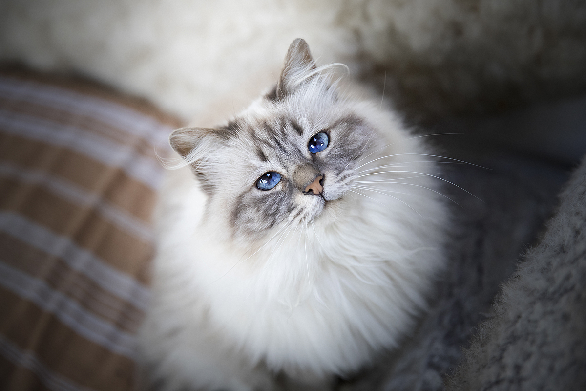 alvleesklierontsteking kat katten poes hond dierenarts dieet speciaal voer vers vlees dieetvoer pancreatitis