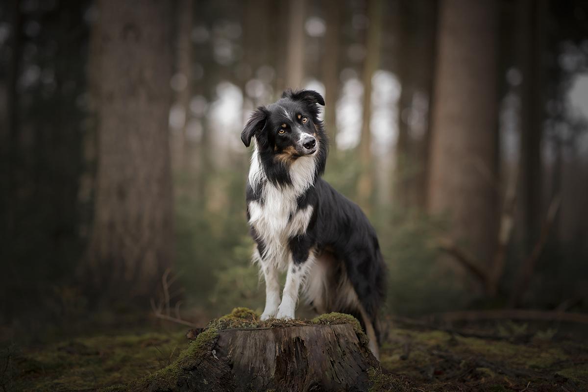 top 3 hondenrassen rasgroep 1 houden van honden raad van beheer border collie aussie australian shepherd