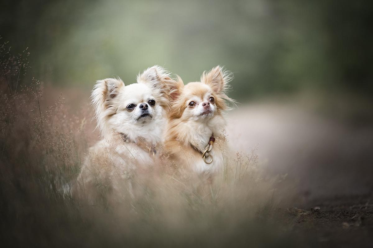 chihuahua optillen beschermen fout of goed kleine hondjes fel blaffen agressief niet sociaal