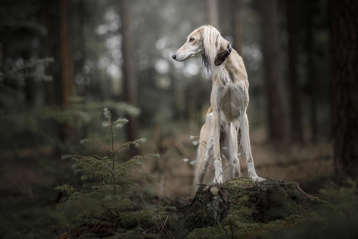 sporten met je hond windhond saluki steppen met hond agility canicross