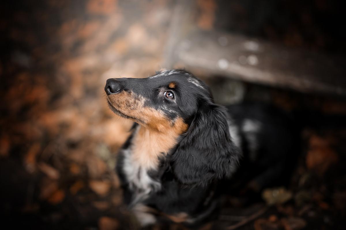 top 3 dashonden teckels dashond teckel