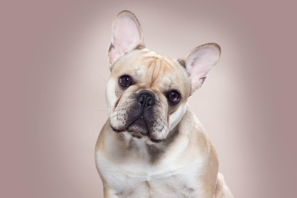 franse bulldog french bulldog frenchie insta instagram accounts honden insta dogstagram